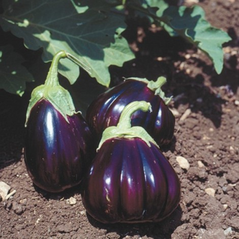 BLACK BEAUTY AUBERGINE