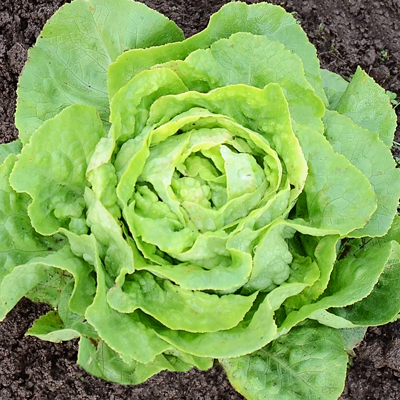 Optima, Green Butterhead Lettuce.jpg